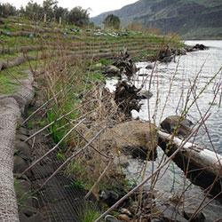 Priest Rapids Shoreline - stabilization plantings