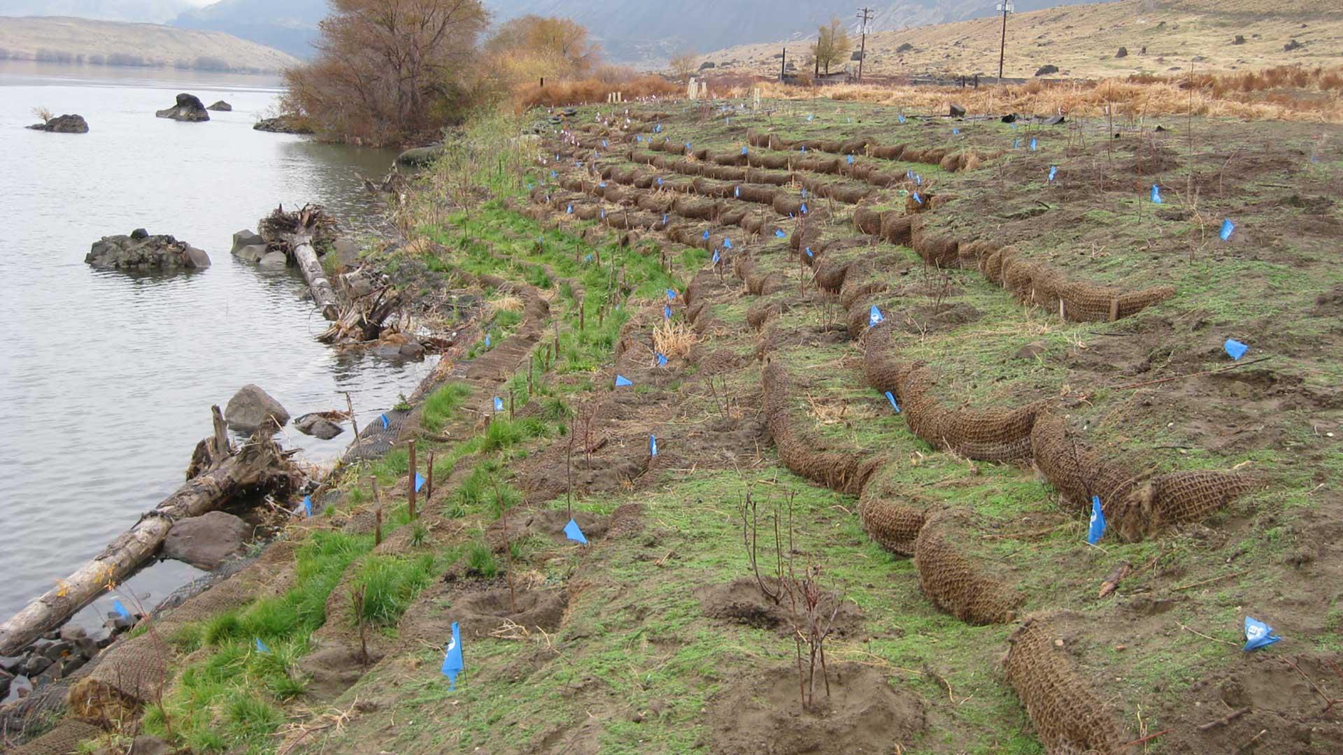 Wanapum Shoreline Stabilization - plantings